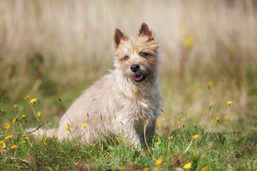 אילוף למשמעת חשוב מאוד בגידול קריין טרייר - LADOG - אילוף כלבים מקצועי