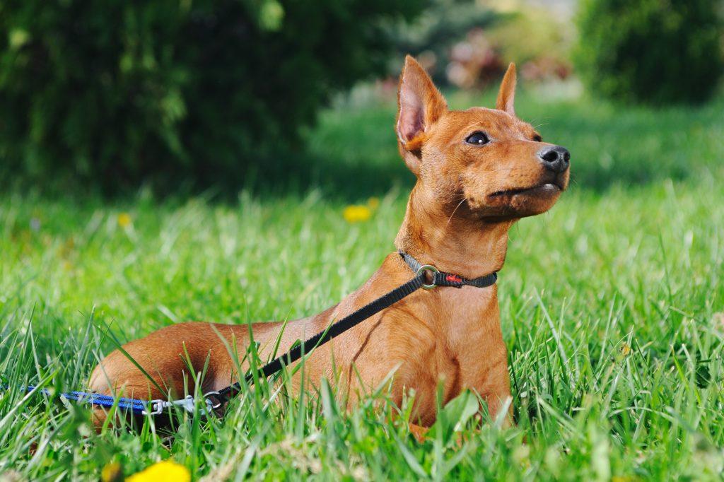 פינצ'ר נחשב לכלב שמירה קומפקטי מעולה - LADOG