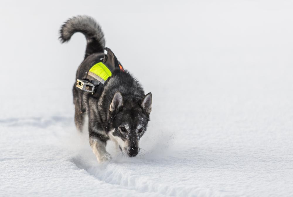 אלקהאונד יכול לתפקד מעולה גם במקומות מושלגים - LADOG - אילוף כלבים