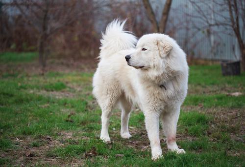 אילוף מקצועי לכלבי מרמנו - LADOG