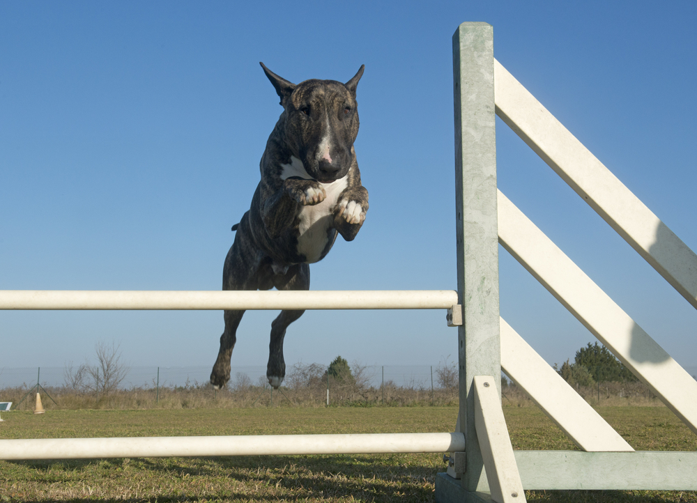 לכלבי בול טרייר יכולות קפיצה מרהיבות - LADOG - אילוף מקצועי