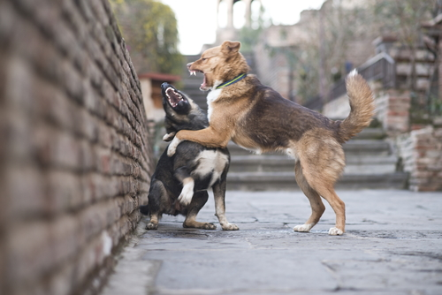 תוקפנות בין כלבים-LADOG