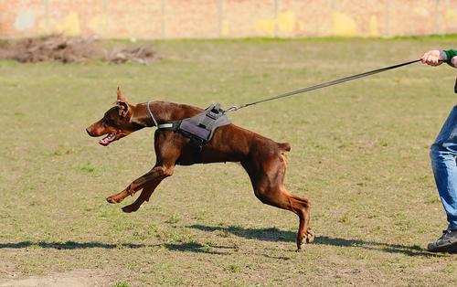 שפת גוף של כלב תוקפני מיצר ציד וטרף-LADOG