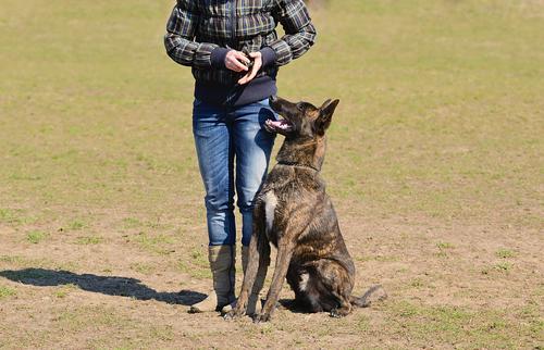 אימון מקצועי לרועה הולנדי- LADOG