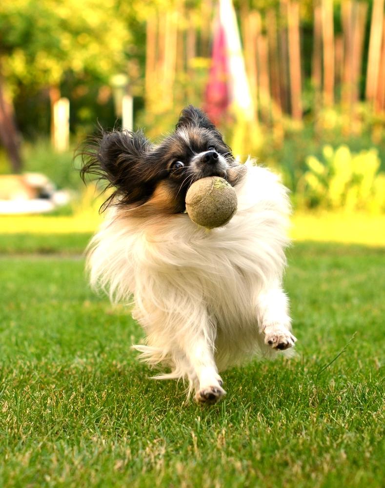 לכלבי פפיון יצר משחק חזק - LADOG -מרכז מקצועי לאילוף