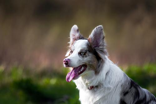 אימון כלבי בורדר קולי-LADOG-בורדר קולי בגוון סיבל