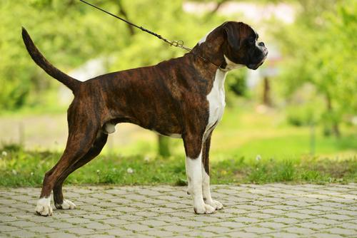 כלב בוקסר גזעי מנומר-LADOG