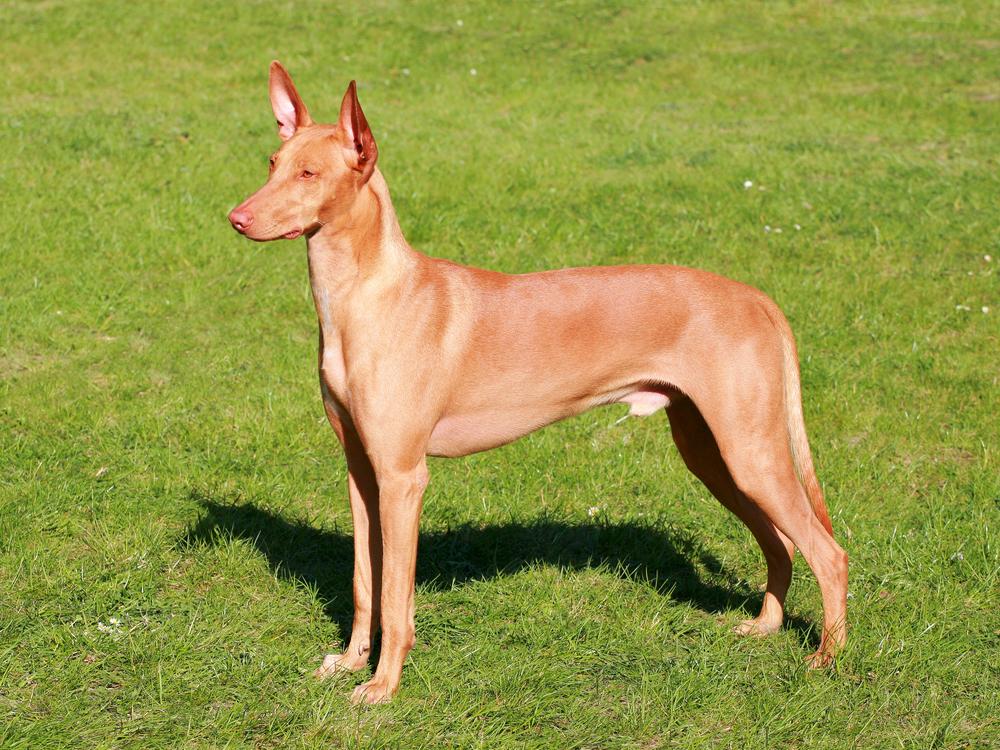 לכלבי האוונד פרעה מבנה אידיאלי מבחינה בריאותית - LADOG - אילוף כלבים מקצועי