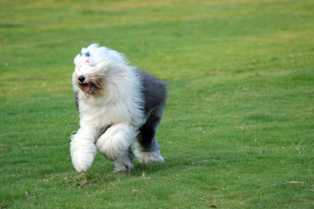 כלב צאן אנגלי עתיק חייב שחרור בשטח פתוח על בסיס יומי - LADOG - אילוף מקצועי