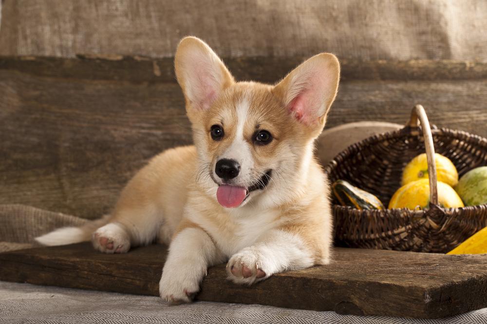 גור של וולש קורגי - LADOG - מרכז מקצועי לאילוף כלבים