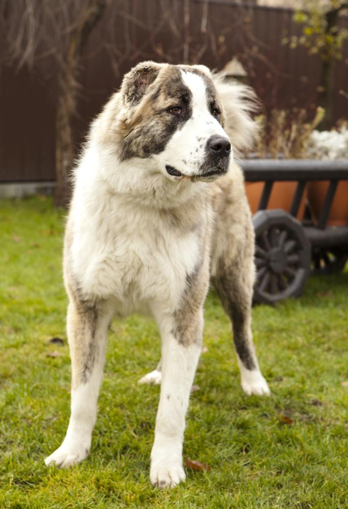 רועה אסיאתי נחשב לכלב רציני וקשוח ביחס לרוב הכלבים האחרים- LADOG - אילוף כלבים מקיף.