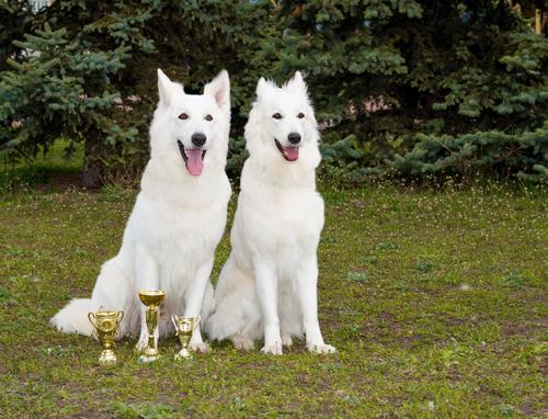 אימון מקיף לכלב רועים שוויצרי - LADOG