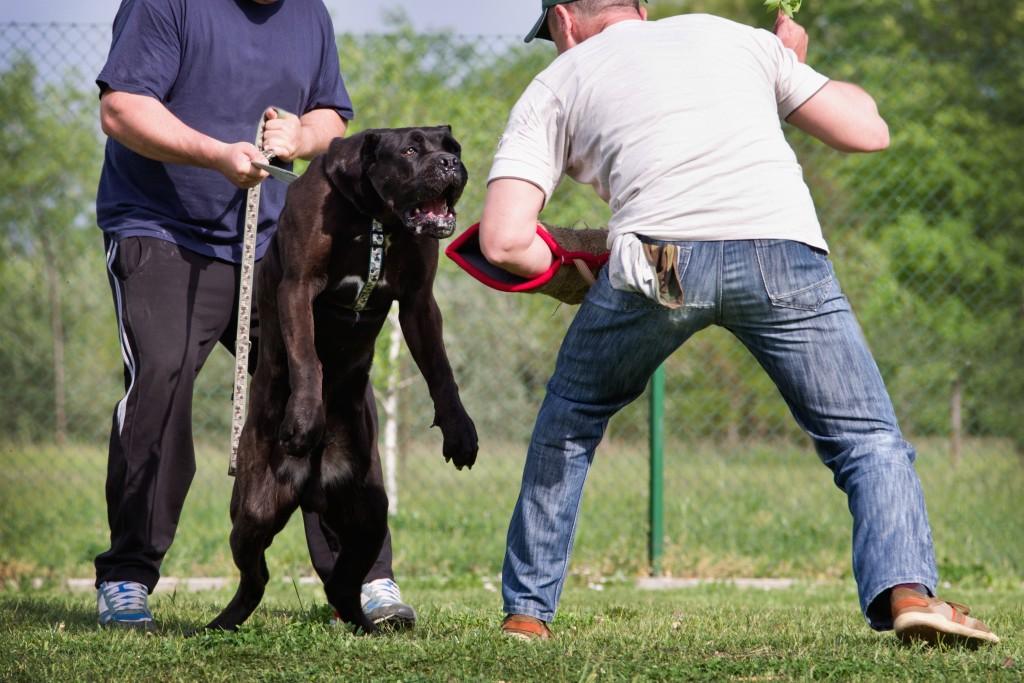 אילוף להגנה ותקיפה לכלבי קאנה קורסו- LADOG