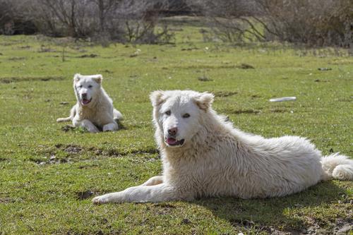 רועה מרמנו בארצה הישאר-LADOG