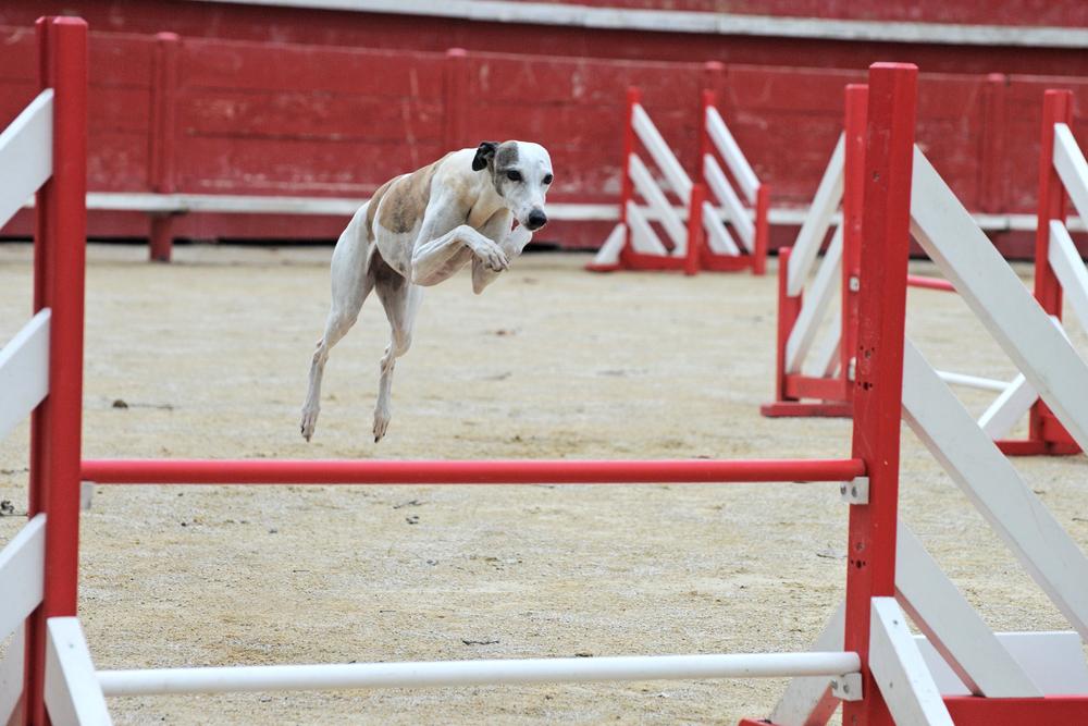 וויפט יכול לקפוץ גבוה מאוד ביחס לגודל שלו - LADOG - אילוף כלבים