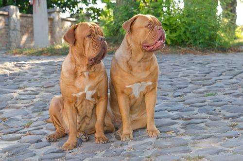 dogs de bordeaux -אילוף מקיף לדוג דה בורדו-LADOG