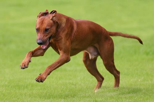 קורס אילוף מקיף לכלבי ריצ'בק רודזי - LADOG