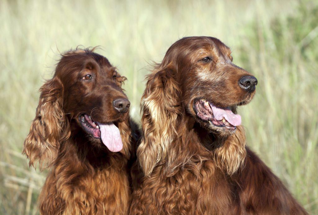 כלבי סטר אירי בעלי תקשורת גבוהה עם הבעלים - LADOG