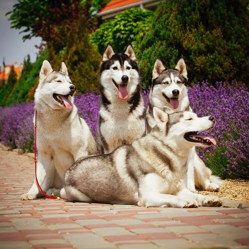 אילוף מקצועי לכלבי האסקי סיבירי- LADOG