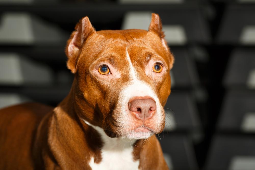 אילוף כלבי פיטבול - במרכז לאילוף כלבים - LADOG