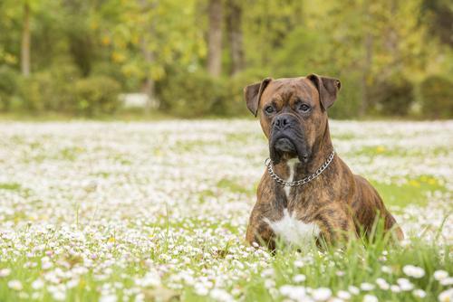בוסר מנומר-LADOG אילוף כלבים