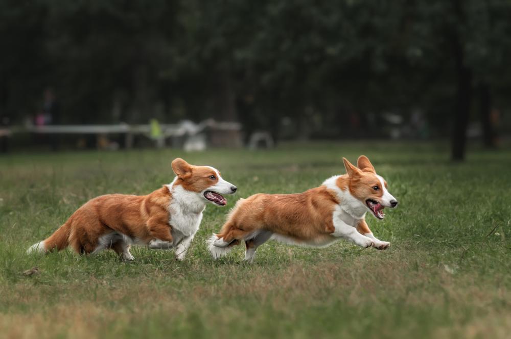 כלבי וולש קורגי צריכים שחרור על בסיס יומי של לפחות חצי שעה ביום, בשטח פתוח - LADOG
