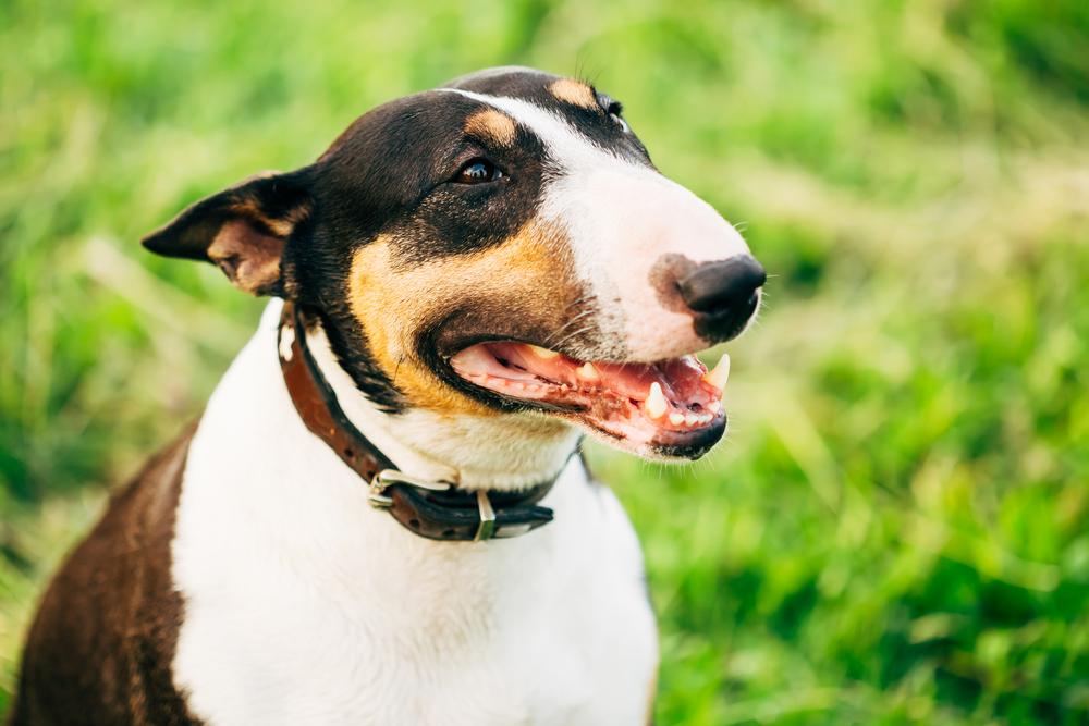 בול טרייר בוגר - LADOG - אילוף כלבים מקצועי