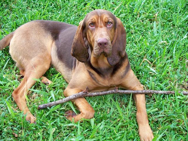 אילוף כלבי בלאדהאונד - כלביית LADOG