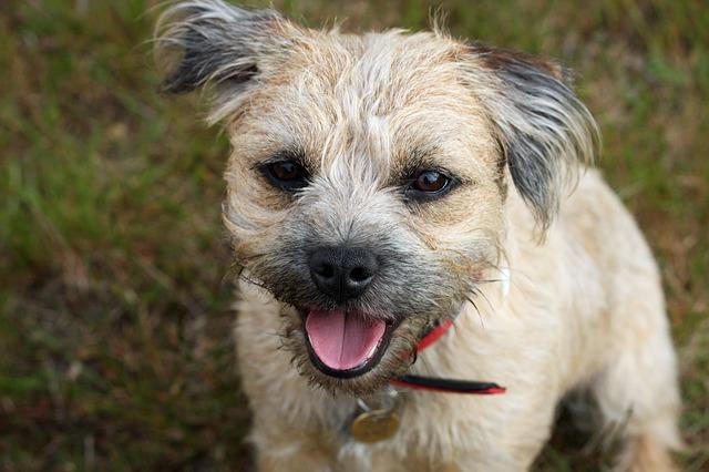 כלבי בורדר טרייר יכולים להיות גם בצבעים של קרם בהיר- LADOG