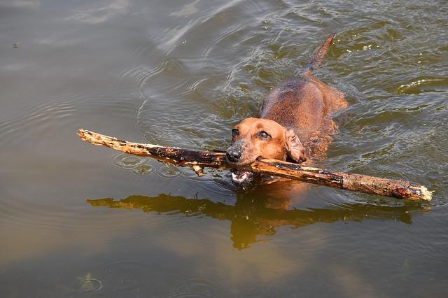 את כלבי דקל(תחש) ניתן להרגיל בקלות לשחיה בים - LADOG