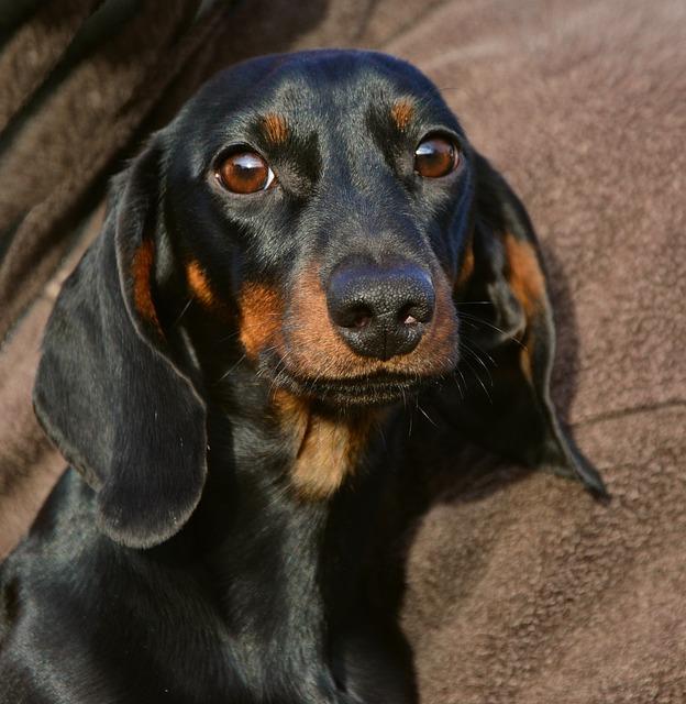 כלב דקל צעיר בצבע נפוץ גם כן בארץ (חום שחור)- LADOG