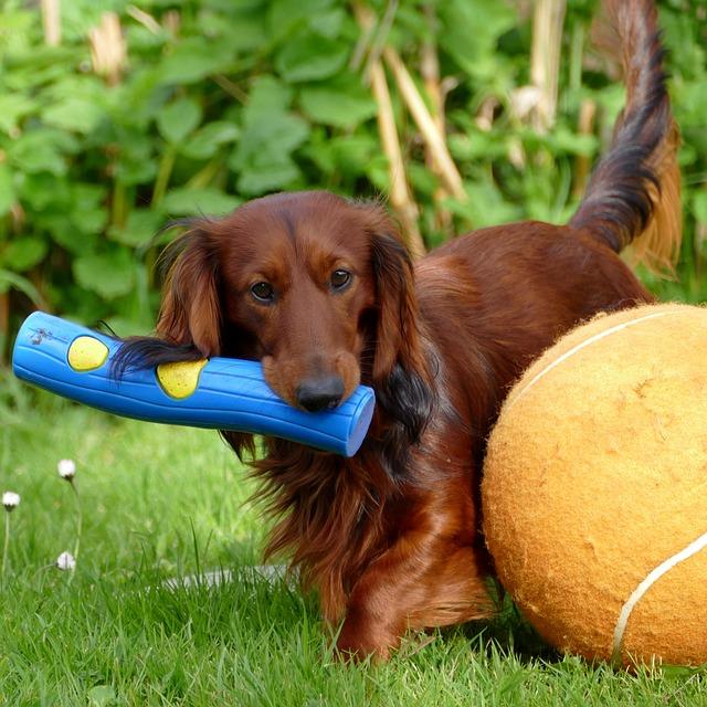 לכלבי דקלׁ (תחש) יצר משחק חזק מאוד אותו חשוב לקשר לפקודות האילוף- LADOG