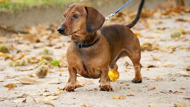 כלב דקל (תחש) קצר שיער חום קלאסי - LADOG