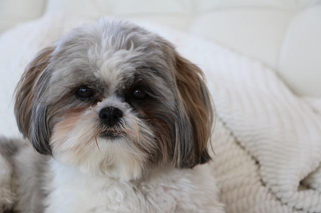 כלבי שיצו ללא חשיפה נכונה עלולים להפוך פחדנים ומסוגרים - LADOG אימון מקצועי לכלבי שיצו