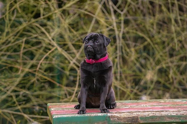 כלב פאג סיני שחור, פחות נפוץ בישראל - LADOG