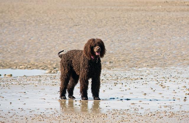 כלבי לברדודל יכולים להיות גם בצבע חום שוקולד - LADOG אילוף כלבים