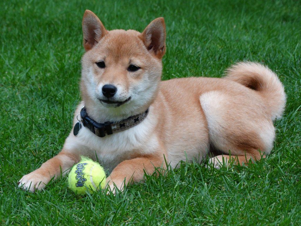 במרכז לאילוף כלבים LADOG נסיון רב באילוף כלבי שיבה אינו
