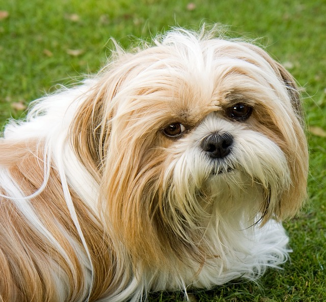 כלבי השיצו יכולים להתקבל בצעים חום לבן - LADOG אימון כלבים