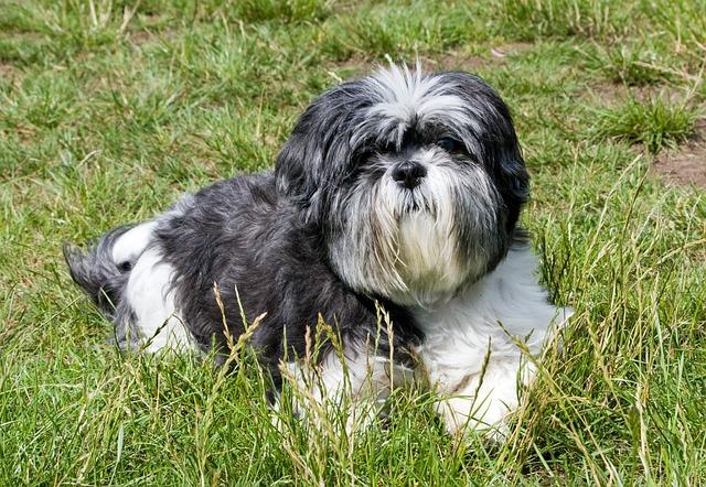 שיצו קלאסי בגוון שחור, אפור ולבו - LADOG אילוף כלבים מקצועי.