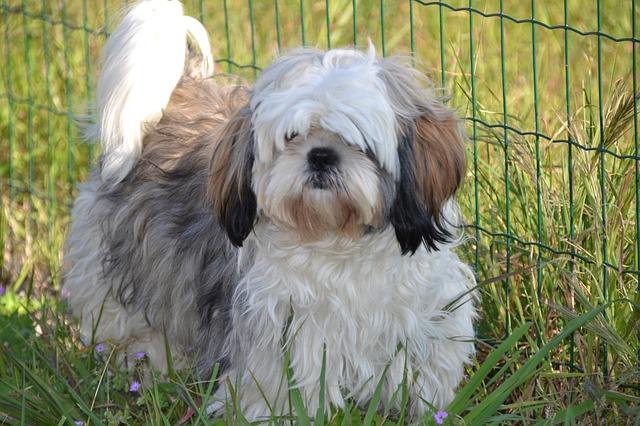 בגידול נכון שיצו נחשב לכלב משפחה מצויין - LADOG