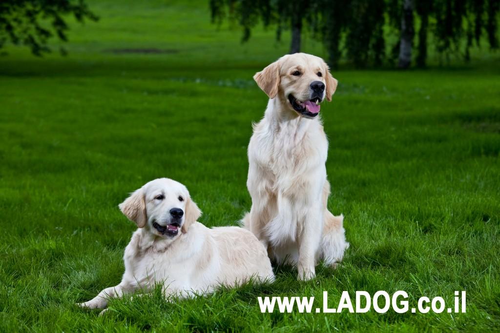 אילוף מקצועי לכלבי גולדן רטריבר-LADOG