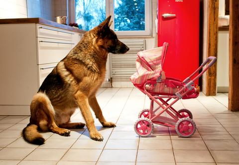 רועה גרמני נחשב לכלב משפחה יציב מאוד - LADOG