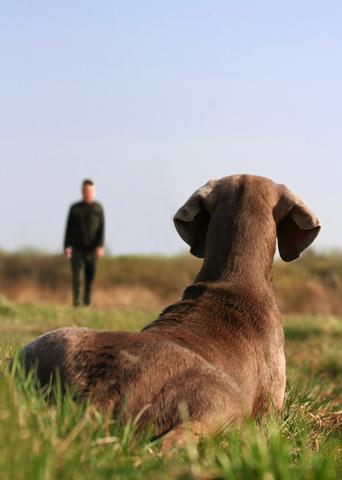 אילוף המתאים לוימרנר- כלביית LADOG -וימרנר באילוף מרחוק בפקודת השאר.