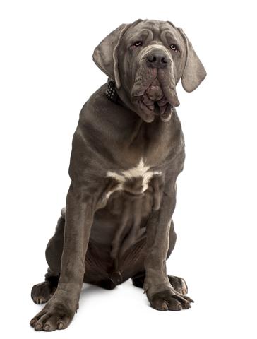 קורס אילוף מקיף לכלב מסוג מסטינו נפוליטנו - LADOG