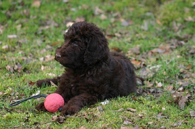 חשוב מאוד לקשר לכלבי לברדודל את המשחקים לפקודות האילוף - LADOG אימון כלבים מקצועי