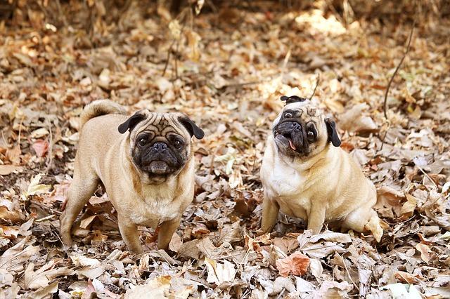 חשוב מאוד לחשוף את כלבי הפאג סיני בגיל צעיר למקומות חדשים - LADOG