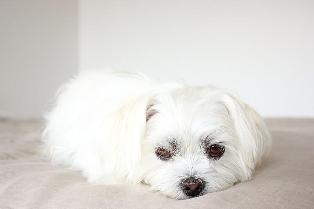 כלבי השיצו יכולים להתקבל גם בצבע לבן שלג - LADOG חינוך כלבים ברמה אחרת
