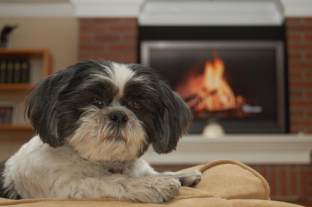 עלייה על ספות יכולה לפתח לכלבי שיצו דומיננטיות כלפי הבעלים - LADOG אילוף כלבים
