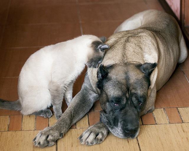כלבי דוגו קנריו יכול להתקבל גם בצבעים של קרם חום עם מסכה שחורה - LADOG אימון כלבים מתקדם